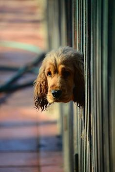 A really nice picture of dog sticking his head through a fence.  #puppied