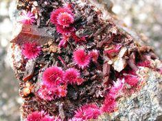 Erythrite, Co3(AsO4)2•8(H2O), Oumlil Mine, Oumlil, Bou Azer District, Tazenakht, Ouarzazate Province, Morocco. Some group of red, lamellar tufts on quartz overall size 8 x 5 cm. Copyright: © sergio varvello