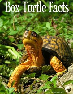 Box turtles don't swim. They float and 'doggie-paddle'. They don't eat in water.  These are not water turtles - they are tortoises.