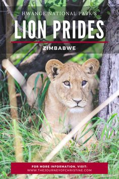 The Lion Prides of Hwange National Park, Zimbabwe
