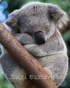 SLEEPY KOALA Photo, Koala Bear, 8 X 10, Baby Nursery Print,  Animal Photography, Nursery Decor, Kids Room, Safari Nursery, Cute, WIldlife