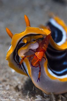 Beautiful Sea Creatures, Underwater Photographer, Sea Slug, Water Animals, Underwater Creatures, Water Life, Exotic Fish, Sea World, Ocean Life