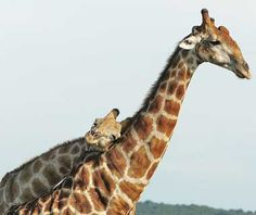 Google Image Result for http://www.travelandleisure.com/images/amexpub/0022/9561/201106-w-adorable-giraffe.jpg%3F1307988907
