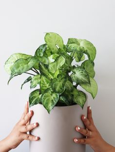 Syngonium Arrow is a great striking house plant with its beautiful foliage. it has an attractive white pattern on the lush green foliage, you can keep it pruned and make it compact, grow longer and enjoy trailing or even can make a plant totem with a moss pole. Arrowhead Plant, Lush Green, Fast Growing, White Patterns, House Plants, White Ceramics, Vines, Compact, Planter Pots