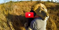 """Envy this man SO much!!! <3 This """"Lion Whisperer"""" Is Incredible! See Him Get The Cuddle Treatment From His Favorite Lion Pride 