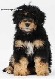 bernedoodle - Bernese Mountain Dog / Poodle Mix Oh good grief cute!!