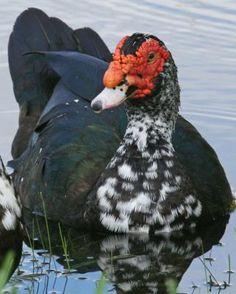 Muscovy Duck - Whatbird.com