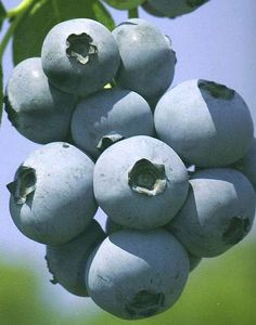 How to Grow and Care for  Blueberry Plants