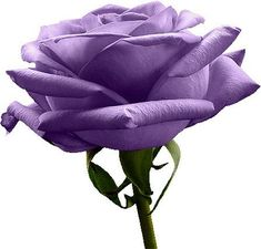 Pink Rose - Seeds / flower seeds and free garden seeds products. plant rose seeds for the gardening.