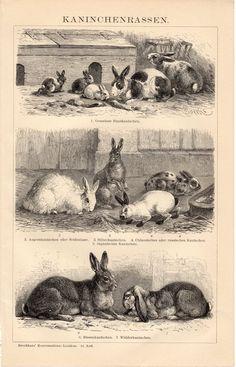 1908 Antique Kaninchenrassen, Rabbit, Hare, Bunny, Farm Rabbits, Different Breeds, German Lithograph