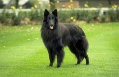 Belgian Shepherd Groenendael