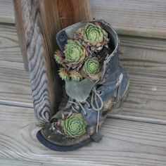 Hen and Chicks in a boot...they look pretty neat nailed to a tree.