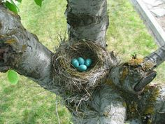 Robin's nest in spring