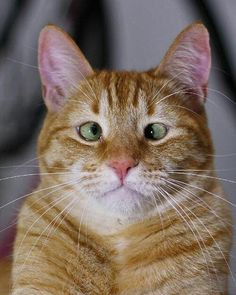 jarvis the cross eyed cat - Orange Cat - Ideas of Orange Cat - jarvis the cross eyed cat The post jarvis the cross eyed cat appeared first on Cat Gig. I Love Cats, Crazy Cats, Cool Cats, Funny Cats, Funny Animals, Cute Animals, Cross Eyed Cat, Chat Maine Coon, Photo Chat
