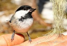 Shamik Photography ~ Devoted to the Natural Elements: My Little Friend #chickadee http://www.amazon.com/author/sharontobin