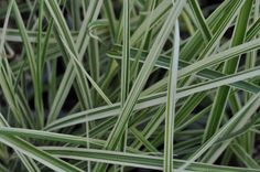 Miscanthus 'Variegatus', Common name: Variegated Maiden Grass. Full sun, deer resistant and great for cut flower arrangements. Common Names, Ornamental Grasses, Cut Flowers, Four Seasons, More Photos, Flower Arrangements, Deer, Sun, Landscape