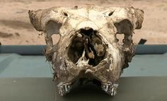 Live EVENT   Live Sunrise Safari Drive   http://www.wildsafarilive.com  South Africa   #SafariLive  young buffalo skull