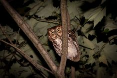 For such big-voiced birds, screech owls are surprisingly small. About 20 species are known to science, all in the Americas, filling a niche similar to Old World scops owls. They rely on camouflage to hide in trees during the day, then come alive at night.