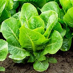 Video: How to harvest lettuce, one plant should be able to be harvested 2 to 3 times per season