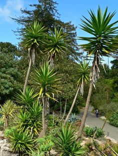 Yucca aloifolia | Spanish Bayonet| plant lust Mediterranean Plants, Spanish Garden, Fast Growing Trees, Xeriscaping, Ground Cover Plants, Ornamental Plants, Types Of Plants, Plant Design, Gardens