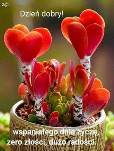 Kalanchoe lucaea – Succulent diy ideas - How to Make Gardening Succulent Gardening, Cacti And Succulents, Planting Succulents, Garden Plants, House Plants, Planting Flowers, Weird Plants, Unusual Plants, Exotic Plants
