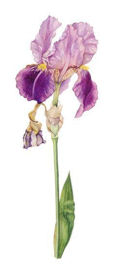 Iris by Elisabeth Blake Plant Illustration, Botanical Illustration, Botanical Drawings, Botanical Prints, Watercolor Flowers, Watercolor Paintings, Watercolours, Iris Art, Iris Painting