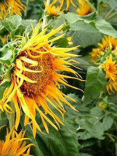 Sunflowers are on my to grow list this year. I have several different kinds.