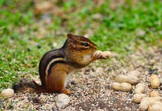 Chipmunk Enjoying A Peanut by Brian E Kushner, via Flickr