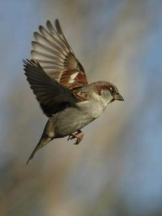 Sparrows are weaver finch birds. There are several species of sparrow, some of which are associated with living nearby settlements of people, such as cities, suburbs, and farms. Pretty Birds, Love Birds, Beautiful Birds, Tropical Birds, Colorful Birds, Exotic Birds, Small Birds, Little Birds, Sparrow Bird