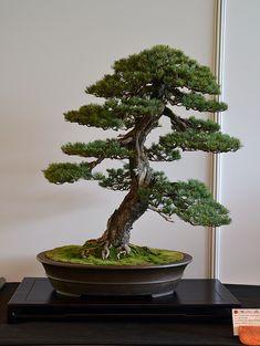 Bonsai Tree Care for Beginners Bonsai Plants For Sale, Buy Bonsai Tree, Pine Bonsai, Bonsai Tree Types, Bonsai Tree Care, Indoor Bonsai Tree, Juniper Bonsai, Bonsai Garden, Garden Plants