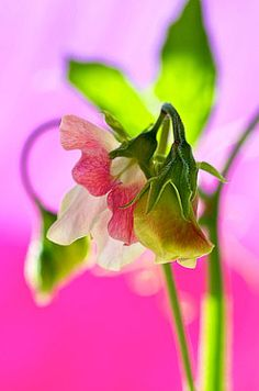 Sweet Pea - Lovely Little Flower