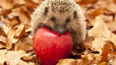 7 tips for a hedgehog-friendly garden - - Cute Baby Animals, Animals And Pets, Funny Animals, Beautiful Creatures, Animals Beautiful, World's Cutest Baby, Wild Animals Photography, Friends Poster, Baby Hedgehog
