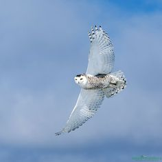 Snowy Owl Wide White Wingspan