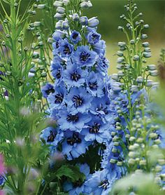 Moonlight Blue Delphinium Seeds and Plants, Flowers at Delphinium Flowers, Delphiniums, Purple Flowers, Exotic Flowers, Yellow Roses, Pink Roses, Garden Plants, House Plants, Dream Garden