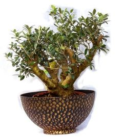 Mens Christmas Gifts, massive Bonsai Olive tree, Rare in the UK, With a Free Decorative Stylish pot. Perfect as a Mens Christmas Gift. by Best4garden, http://www.amazon.co.uk/dp/B00G3E2DVG/ref=cm_sw_r_pi_dp_4ydAsb1E8NGN4