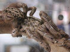 West African Togo Starburst baboon spider (Heteroscodra maculata) is an Old World species of tarantula. Heteroscodra maculata specimens are quite fast, defensive and possess potent venom.