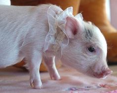 Tea cup pig! I want one :)