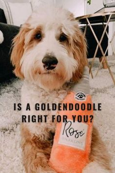 Things You Should Know Before Getting a Goldendoodle - Labradoodles & Dogs Red Poodle Puppy, Fear Of Dogs, Labradoodles, Goldendoodles, Huge Teddy Bears, Goldendoodle Grooming, Pet Dogs, Pets, Doodle Dog