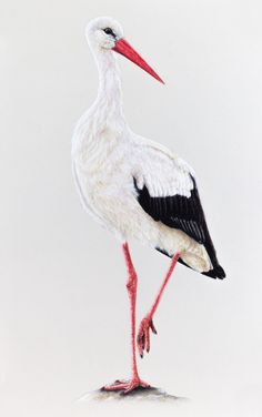 Giclee Print: White Stork Suren by Suren Nersisyan : Stork Bird, Indonesian Art, Pastel Paper, Bird Artwork, Pastel Pencils, Pastel Drawing, Bird Drawings, Bird Pictures, Lovers Art