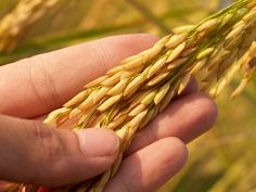 Grains are seeds that are dry, hard and small. It can either be with or without attached hulls or fruit layers. It nay also be for human consumption or animal feeds. However, the grains mist undergo a process in order to determine if it is for human consumption or animal feeds. The essence if grains