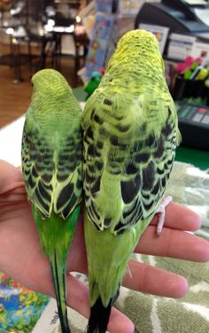 Big size difference between #american #parakeets and #english #budgies