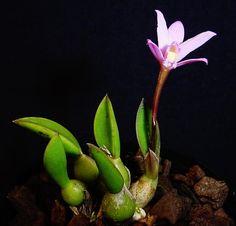 Cattleya kettieana (Pabst) Van den Berg, Neodiversity 3: 8 (2008) Miniature Orchids, Vivarium, Botany, Passion, Organic, Club, Adventure, Flowers, Beautiful