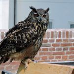 #Greifvogel auf dem Mittelalter-#Festival Kutna Hora in #Tschechien | Travelcontinent #vogel #tiere Festivals, Owl, Animals, Medieval Town, Period Costumes, Czech Republic, Celebrations, Old Town, Tourism