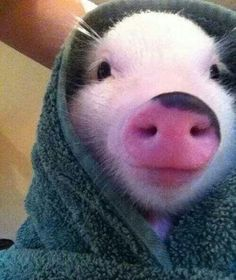 Here are 22 things mini pig owners will understand and why they chose these adorable animals as pets. Mini pigs are adorable but do require extra care. Cute Baby Pigs, Cute Piglets, Cute Baby Animals, Animals And Pets, Funny Animals, Farm Animals, Baby Piglets, Pigs In A Blanket, Animal Pictures