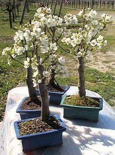 Miniature Pear Trees