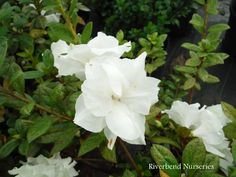 Azalea Encore 'Autumn Moonlight'  www.riverbendnurseries.com