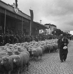 Aveiro. Cortejo pecuário integrado nas festas da cidade, 6 de julho de 1959. Artur Pastor [julgo que o mês esteja errado]