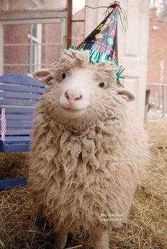 Sheep wearing a party hat! Cute Little Animals, Cute Funny Animals, Cute Sheep, Baby Sheep, Funny Sheep, Sheep And Lamb, Animals And Pets, Animals Planet, Happy Animals