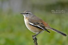 Photos of Mockingbirds / Calandrias - Mimidae - Argentina