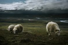 A group of sheep grazes unaware of the storm that it's approaching. Taken in the East Fjords in Iceland almost arriving to Stórurð .  #InnerLightLeaks #Iceland #East fjords #travel